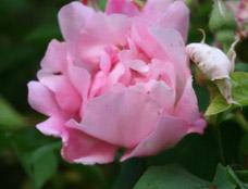 rose[1].jpg